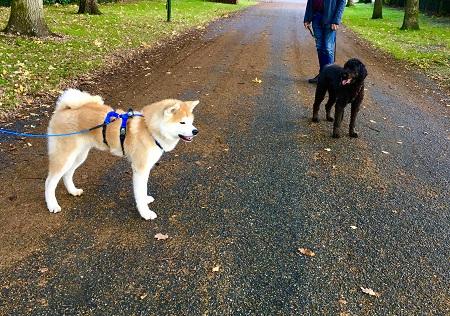 Duoles met een volwassen hond